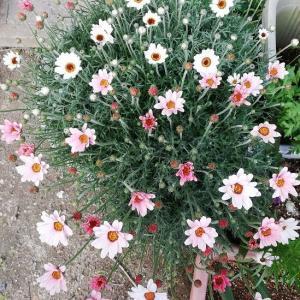 バラ  花てまり ローダンセマム 茎ブロッコリーの種まき