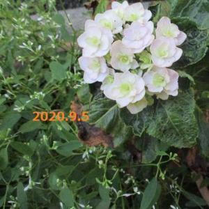 ゆり ストック 紫陽花