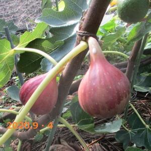 苺に花 ミニトマト 現在のきゅうりの様子