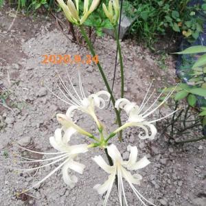 ストック 茎ブロッコリー カリフラワー 紫キャベツ