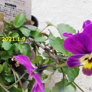 ビオラ ユリオプスデージー 多肉植物 月兎耳(つきとじ)