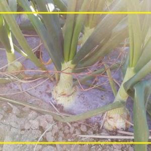 今日の野菜 花 カンボジア 多肉植物 料理