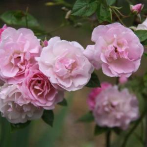 タヌキの庭でもバラの花
