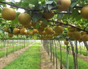 梨の収穫は、ほぼほぼ終了~! 今年も無事一段落いたしましたよ宣言!! (-。-;)