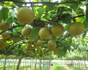 梨の収穫は3年目の!! 無事に今年も終えられそうです!! ヽ(´▽`)/