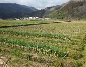 初めての、冬の間に冬ネギの収穫が終了ですヽ(´▽`)/