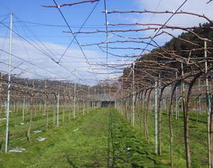 2月に入り、梨の剪定作業も半分終りそうで、穂木作りにも初挑戦です。