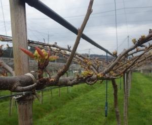 果樹園は梨の開花前のあれこれと、野菜圃場も動き始めましたよっ(´▽`;)b