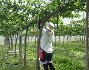 梨園は、摘果作業が終了~!!(;´▽`A``