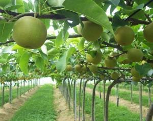 梨園は今年の枝ぶり仕上げ作業完了から、野菜圃場はお約束のジャングル復活大作戦~!! (-。-;)