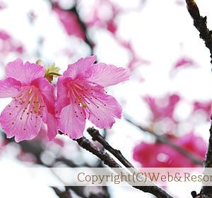 第52回 名護さくら祭り (2014年 名護市桜祭り情報)