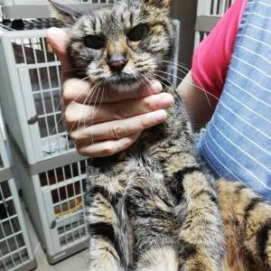 川越市通町付近でおばあちゃん猫を保護しました。