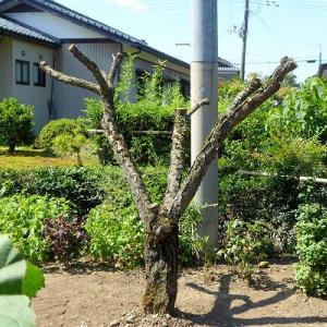 ウメの木伐採