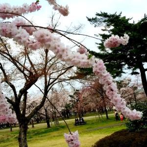 穂咲き八重彼岸