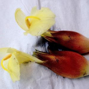 ミョウガの花盛り