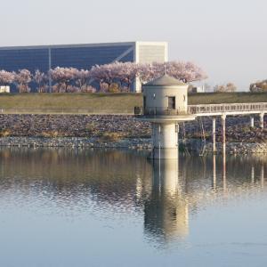 狭山池の満開の桜