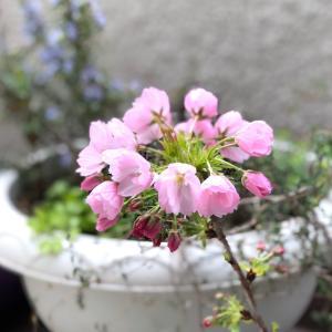 こちらの桜も咲いてきました♪