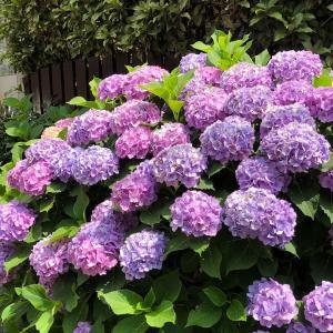 お散歩で出会う紫陽花と素敵な一軒家♡