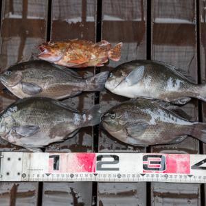 八景島前の釣果はメジナ4枚!簡単カルパッチョも紹介