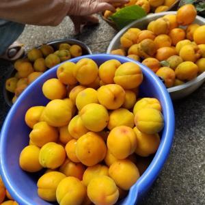 杏が採れました
