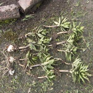 最後のユリの根が掘り起こされた?!