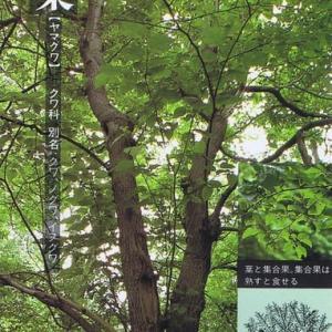 山桑(ヤマクワ)