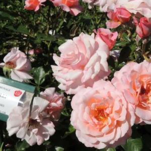ローマの薔薇