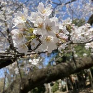 井の頭公園の桜2021
