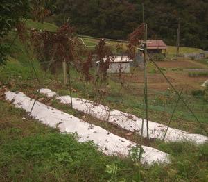 長芋と自然薯の収穫