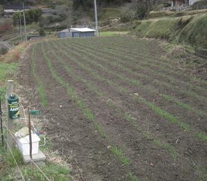 小麦の芽とアズキの収穫