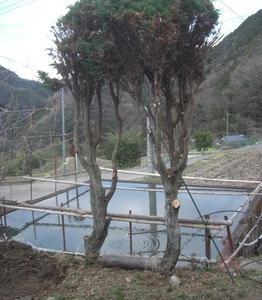 池のそばのヒノキの剪定