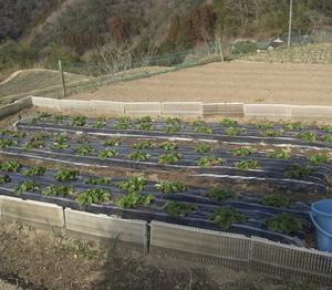 イチゴの草取りと肥料やり