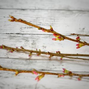 レッスンで使った桜が咲き始めました