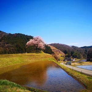 2020年神宮寺跡のエドヒガン桜開花状況【神石高原町】