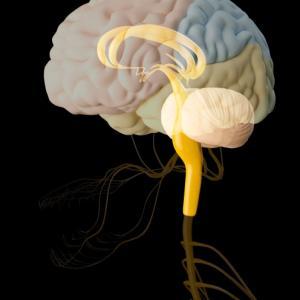 脳は35歳から約10%減少!?