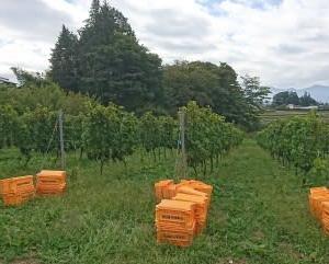 松本市 ウィッグ 患者会 ぶどう収穫体験は無事終えることが出来ました