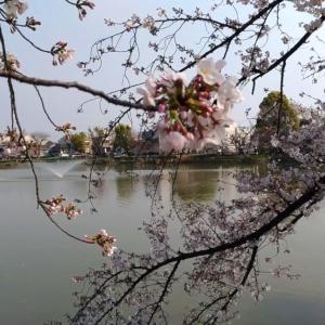 万代池の桜!そろそろ散り始めるよ!