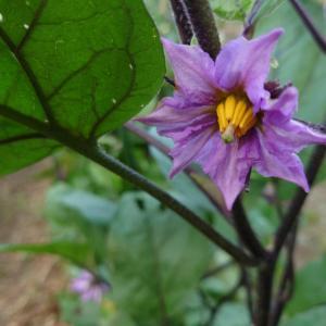 親の意見となすびの花