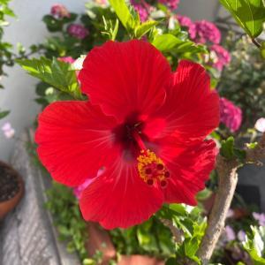 No.583  花壇の花:ハイビスカス