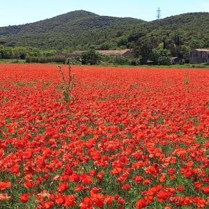 Le champ de coquelicots à Hyères 南仏イエールのコクリコ花畑