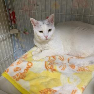 白猫系の可愛い成猫