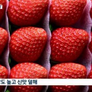 韓国人「韓国産イチゴが全世界で大人気に!」米国が韓国産イチゴにロイヤリティを支払い、韓国産イチゴの種苗を輸入へ」→「もう日本の品種は使わないのですね」