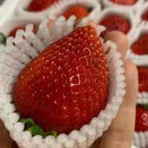 韓国人「日本人が発狂!」韓国産イチゴの品質が良くなった理由がこちら‥ 韓国の反応