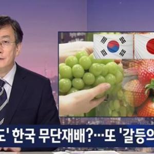 【日韓戦争】韓国人「日韓農業戦争が勃発!」韓国産のイチゴ・ブドウは日本産をパクった不正栽培と、日本政府が主張! 韓国の反応