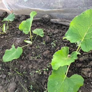 ごぼうの種蒔き〜現在順調に生育中