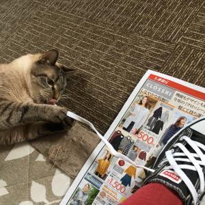 【猫動画】シャムとらシュンくん《靴紐。》