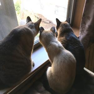 【猫動画】シャム猫風味なワっち《9年前の動画。》