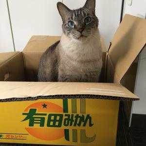シャム猫さんたち《みかん箱とコタツ。》