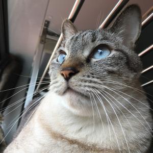 シャム猫さんたち《後にして。》