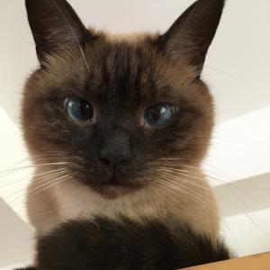 シャム猫風味なレンくん《唯我独尊。》